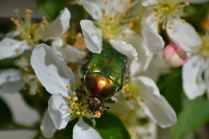 Insecte vert photographie stock