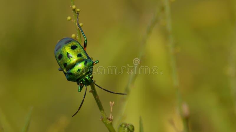 Insecte vert de bijou avec une jambe évidente photo libre de droits