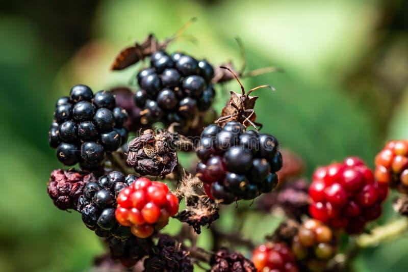 Insecten op Zwart Forest Berries royalty-vrije stock afbeeldingen