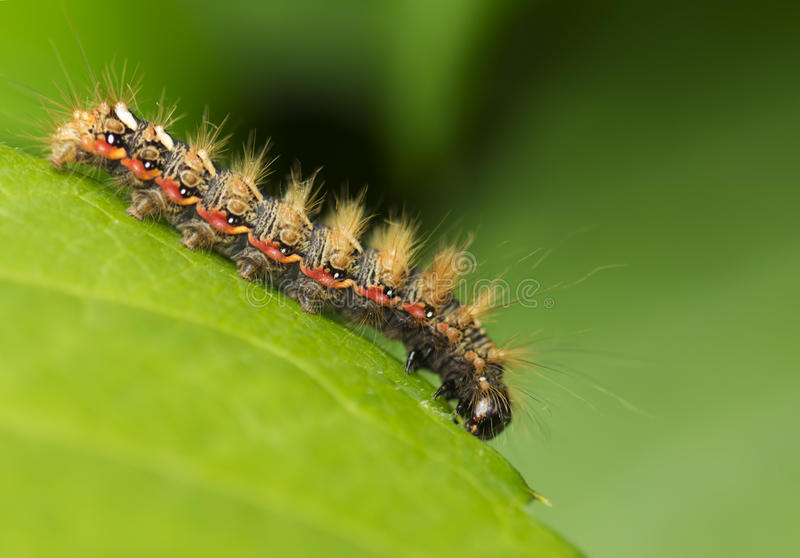 Insectenrupsband (Acronicta-rumicis) royalty-vrije stock afbeelding