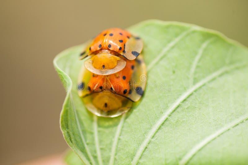 Insectes de accouplement sur une feuille photo stock