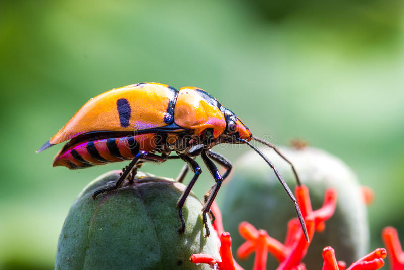 Insectes de bijou photos stock