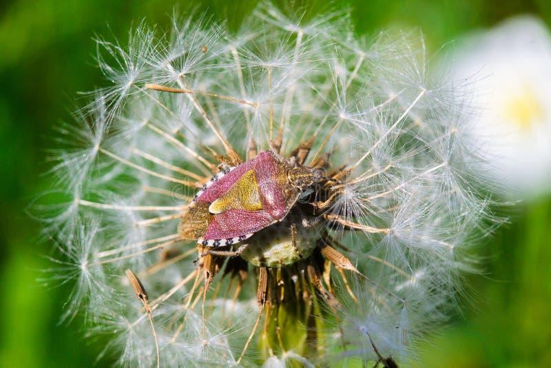 Insectes de bouclier photos libres de droits