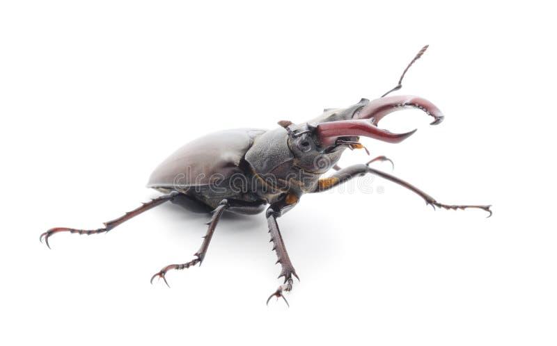 Insectes (Oryctes Nasicornis) photos libres de droits