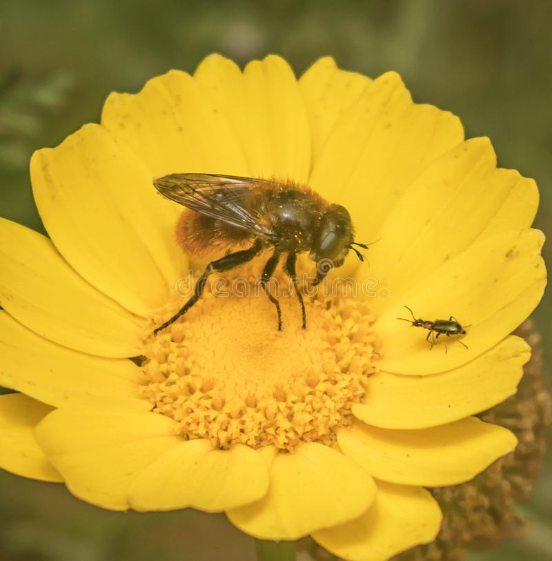 Insectes recherchant le pollen photo libre de droits