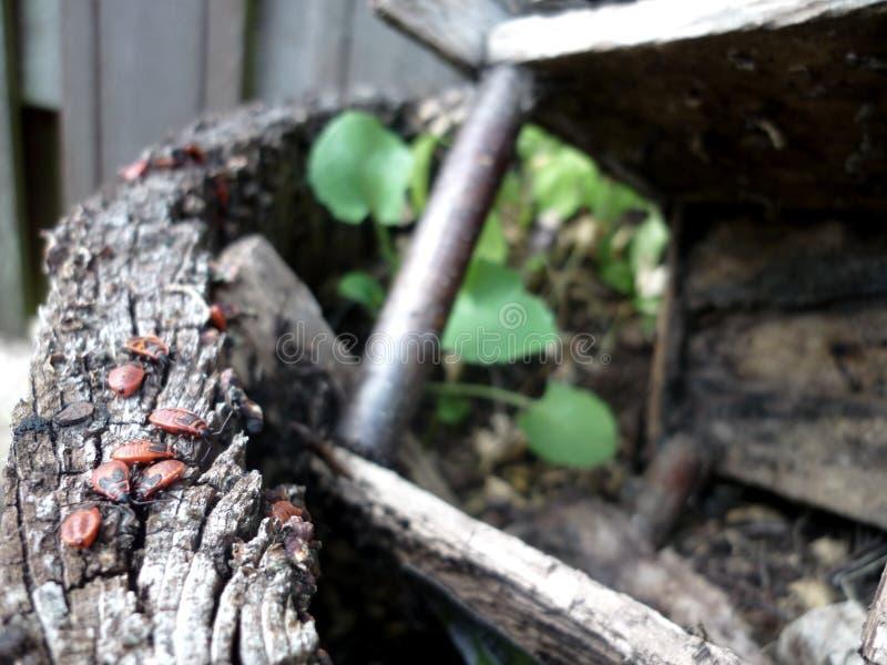 Insectes rouges sur le vieux bois photographie stock