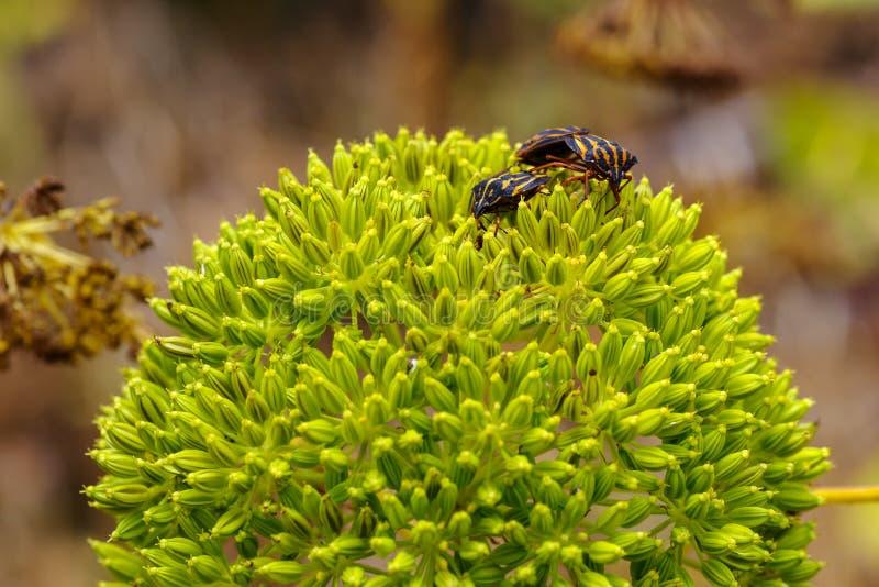 Insectes striés de bouclier sur l'usine de poireau sauvage images stock