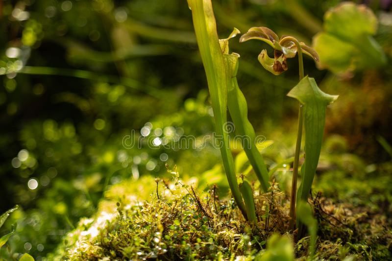 Insectivorous plant Darlington California is the only representative of the genus Darlington, which grows in Northern California royalty free stock image