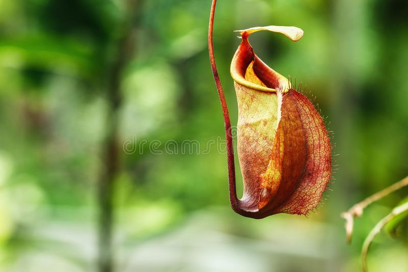Insectivorous plants Nepenthes Ampullaria. Close up in outdoor garden royalty free stock image
