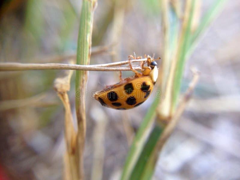 Insecto anaranjado colgante de la señora fotografía de archivo libre de regalías