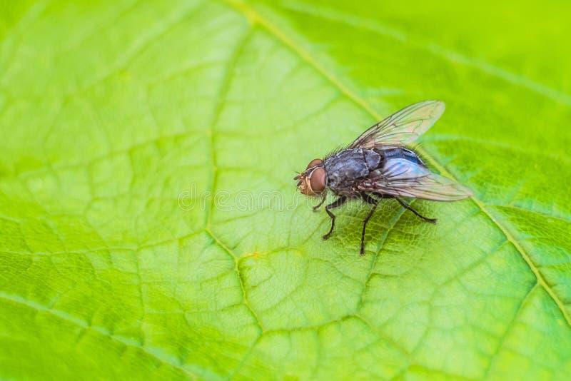 Insecto azul de la mosca de la carne en la hoja verde en naturaleza Mosca azul de la botella fotos de archivo libres de regalías