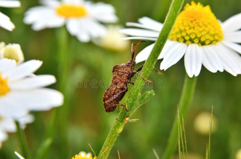 Insecto bidentado del hedor que se arrastra en un tronco de la manzanilla imagenes de archivo