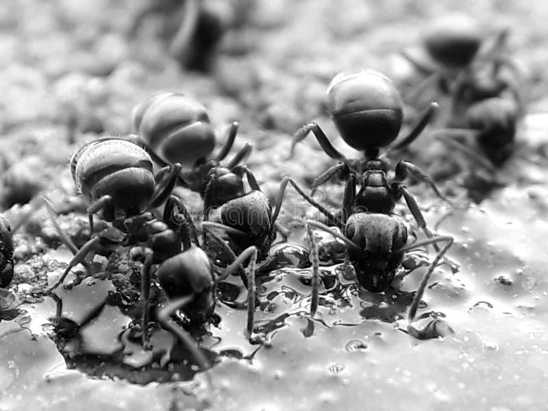Insecto, blanco y negro, parásito, fotografía macra foto de archivo