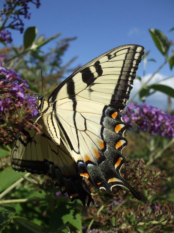Insecto con alas de la mariposa fotos de archivo