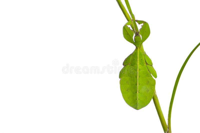 insecto de hoja imagen de archivo libre de regalías