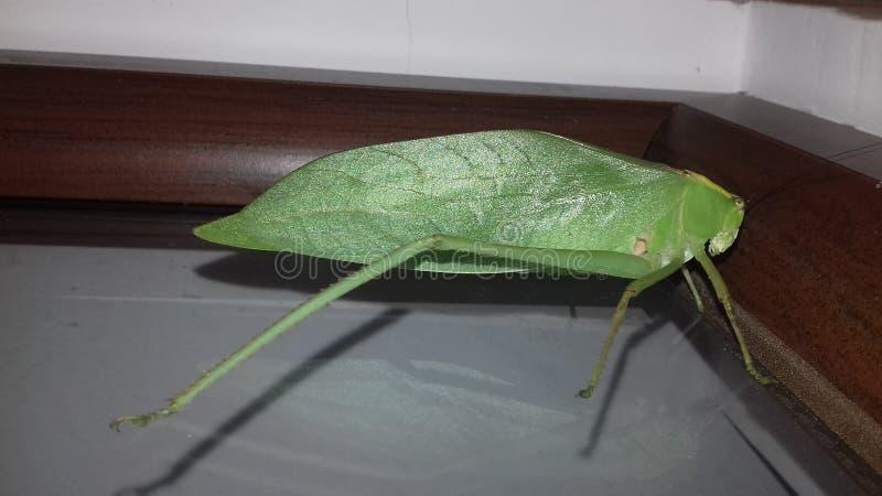 Insecto de hoja foto de archivo