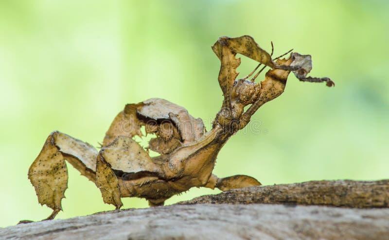 Insecto de hoja espinoso fotos de archivo