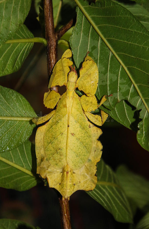 Insecto de hoja gigante fotografía de archivo libre de regalías