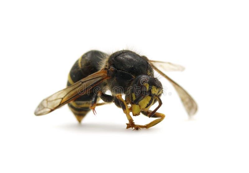 Insecto de la avispa aislado en la foto macra del fondo blanco fotografía de archivo