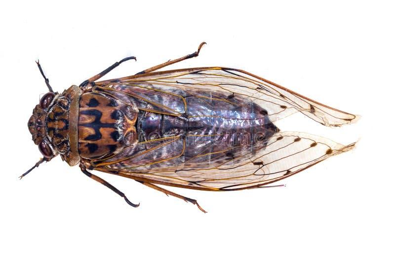 Insecto de la cigarra fotografía de archivo libre de regalías