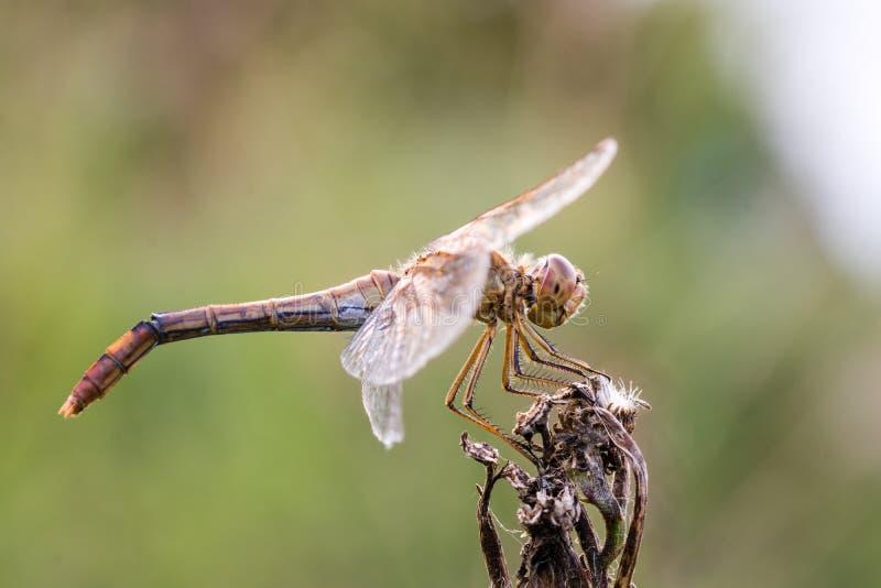Insecto de la libélula, primer Flaveolum de Sympetrum fotografía de archivo libre de regalías