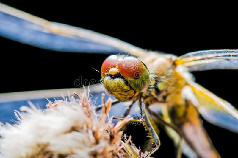 Insecto de la libélula que se sienta en el retrato macro de la planta en Backgr negro imagen de archivo libre de regalías