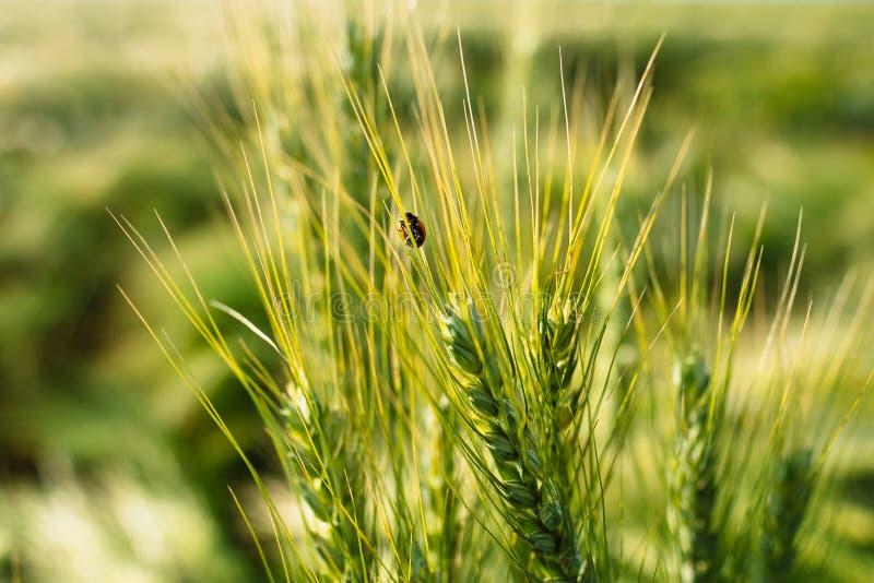 Insecto de la mariquita en macro de la espiguilla del trigo imágenes de archivo libres de regalías