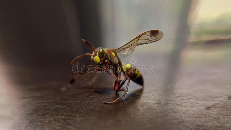 Insecto de Ninja fotos de archivo libres de regalías