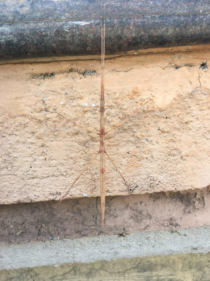 Insecto de palillo foto de archivo libre de regalías
