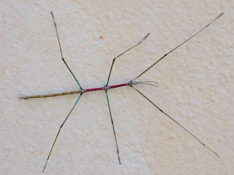 Insecto de palillo fotos de archivo libres de regalías