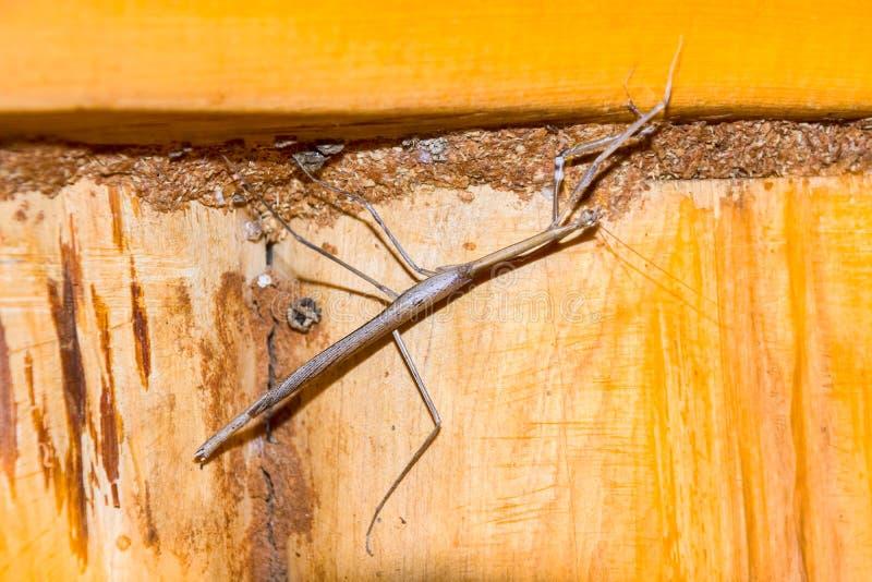 Insecto de palillo imagenes de archivo