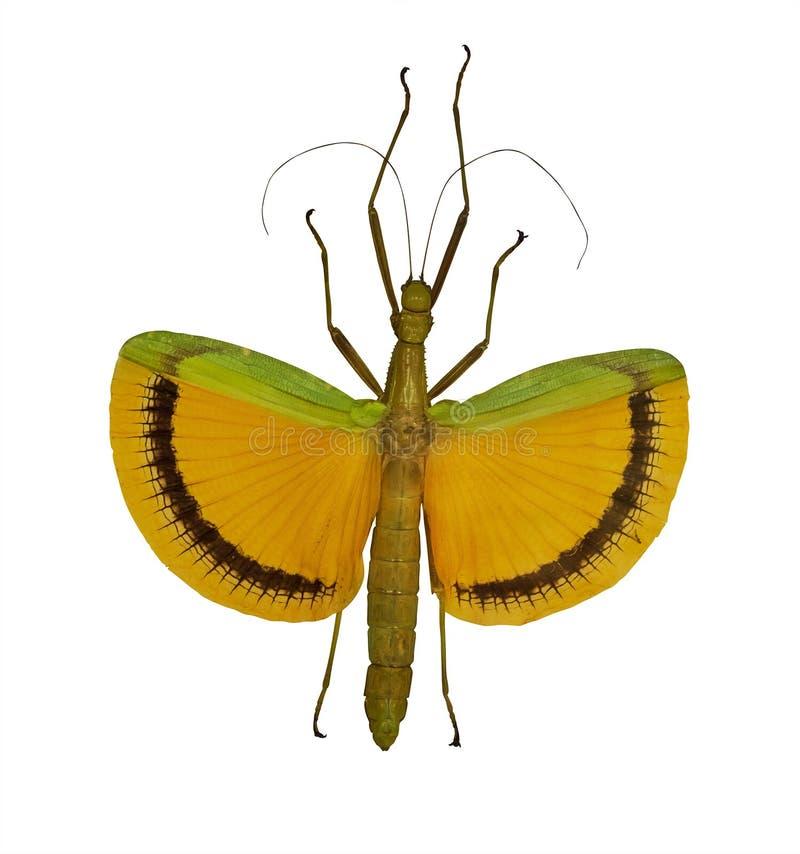 Insecto de palillo amarillo que vuela aislado en blanco fotografía de archivo