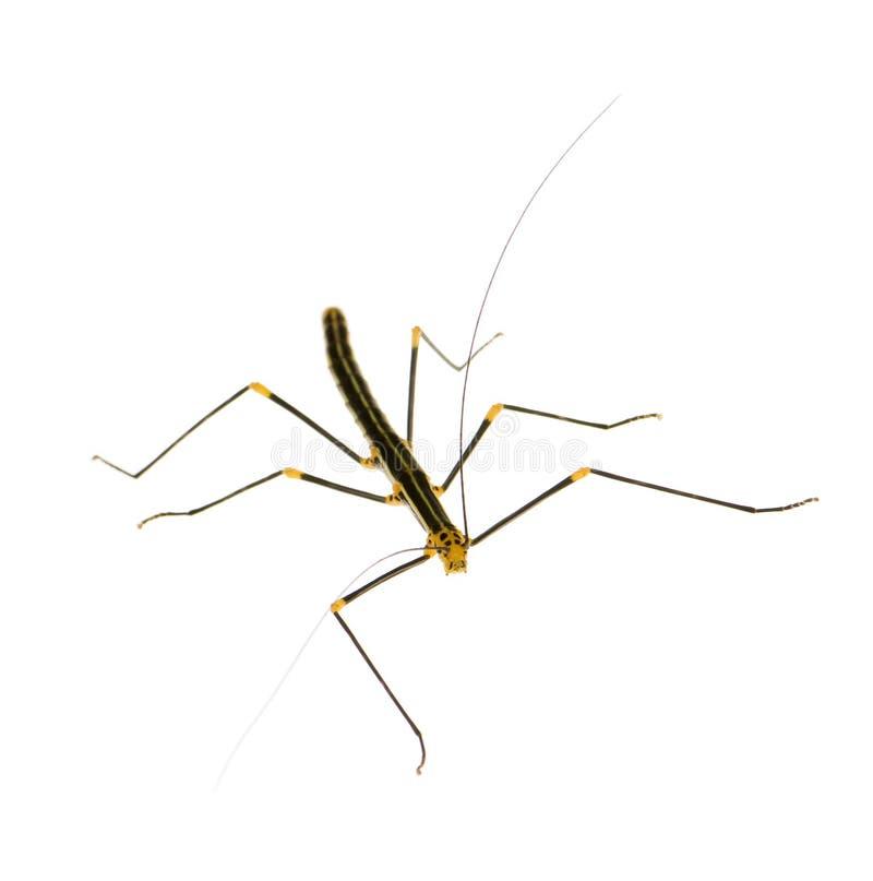 Insecto de palillo, Phasmatodea - peruana de Oreophoetes imagen de archivo