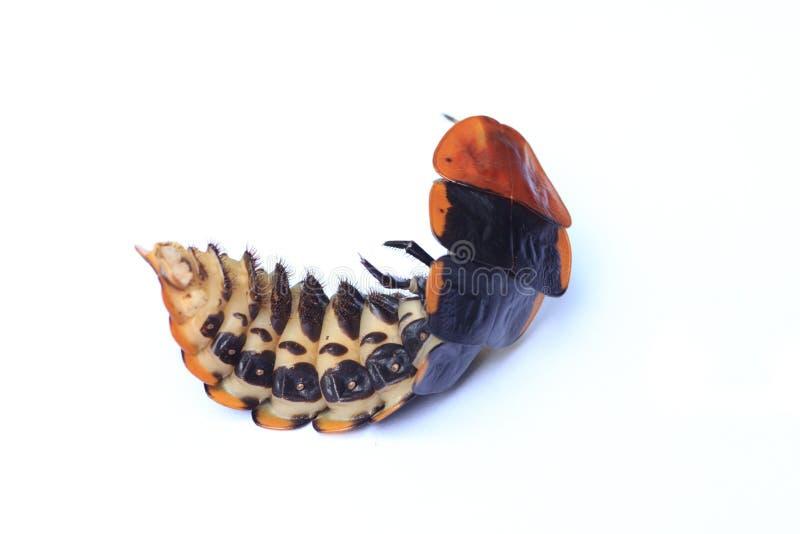 Insecto de relámpago foto de archivo libre de regalías