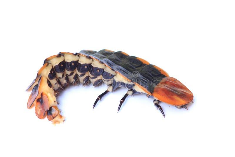 Insecto de relámpago imagen de archivo