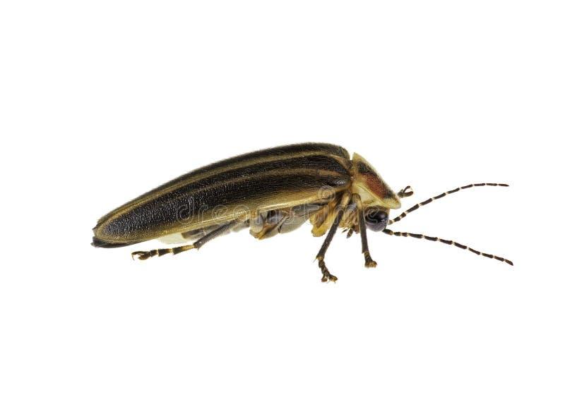 Insecto de relámpago fotos de archivo