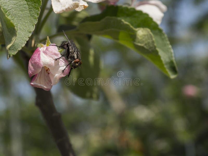 Insecto de vuelo que espera en la flor imagenes de archivo