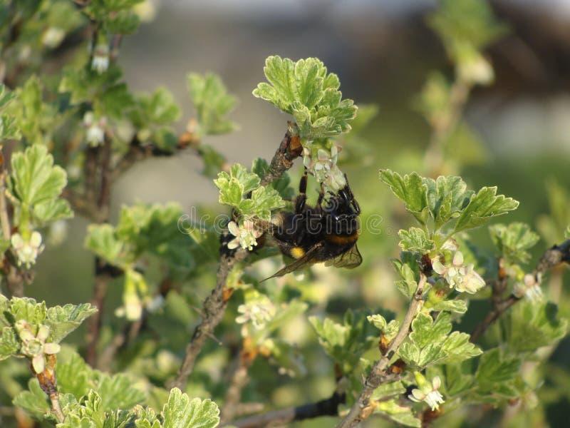 Insecto del avispón fotografía de archivo