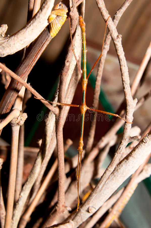 Insecto del bastón fotos de archivo