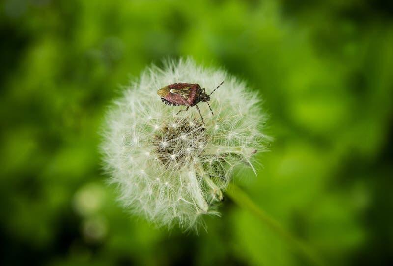 Insecto del bosque en las semillas mullidas del diente de león imagen de archivo