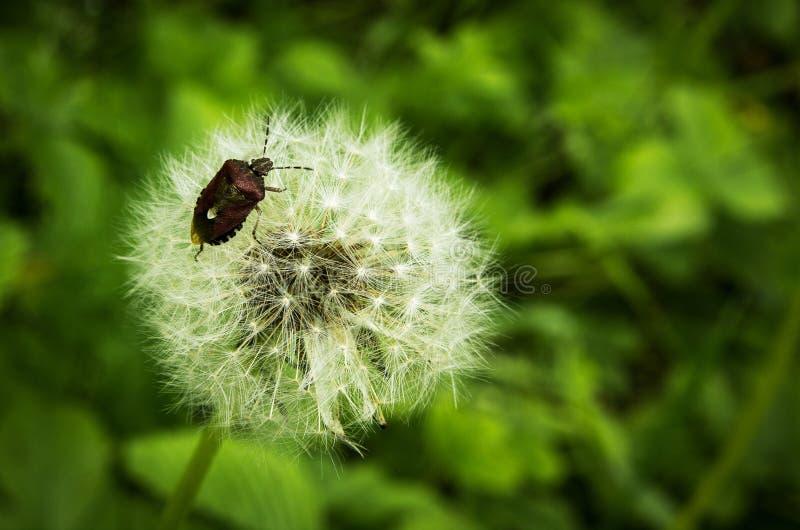 Insecto del bosque en las semillas mullidas del diente de león fotografía de archivo