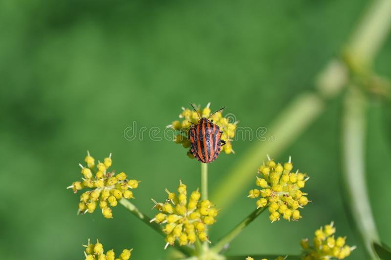 Insecto del escudo foto de archivo