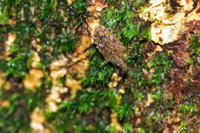 Insecto del escudo del verde de Masoala fotos de archivo