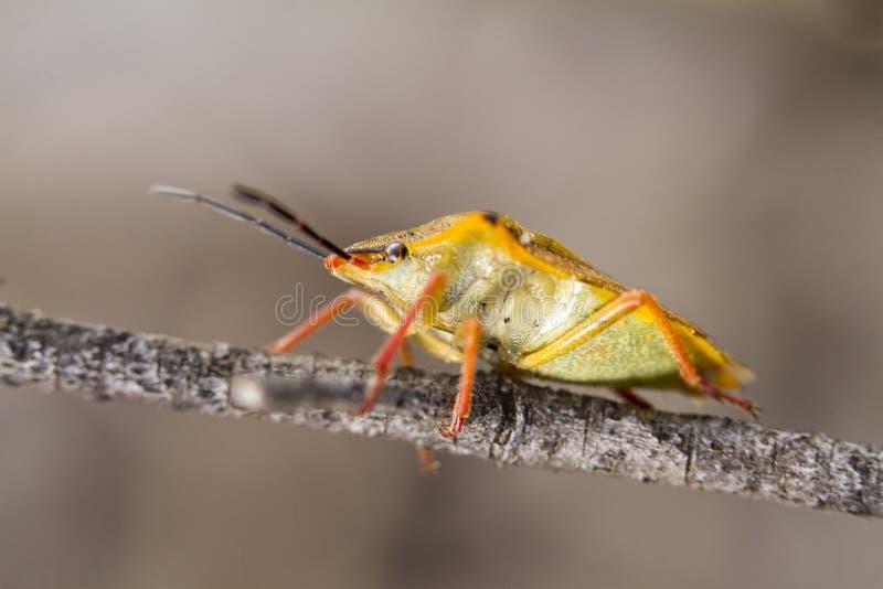 Insecto del hedor (fuscispinus de Carpocoris) imagenes de archivo