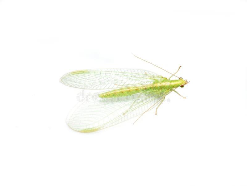 Insecto del lacewing verde en el fondo blanco imagenes de archivo