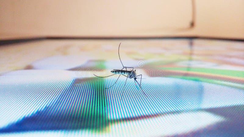 Insecto del mosquito foto de archivo libre de regalías