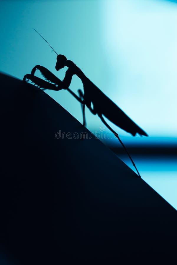 Insecto del predicador en fondo azul borroso foto de archivo libre de regalías
