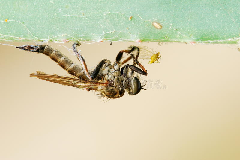 Insecto Despredador Fotografía de archivo