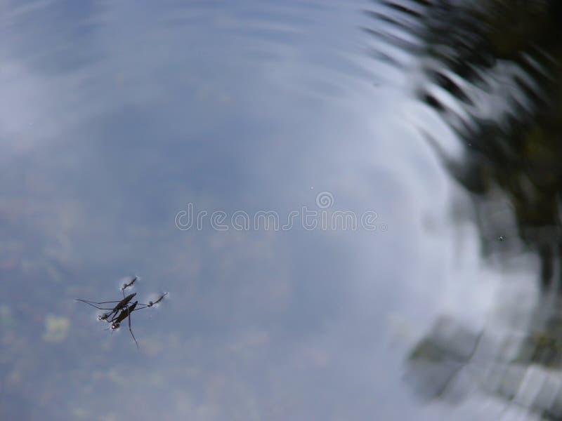 Insecto en agua fotografía de archivo libre de regalías