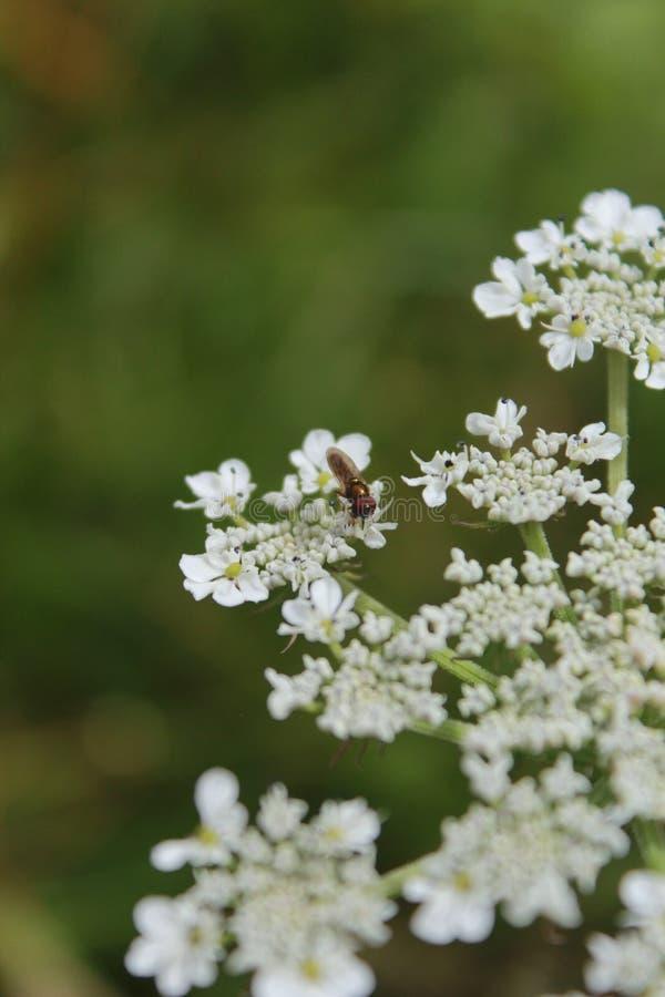 Insecto en la flor blanca foto de archivo libre de regalías